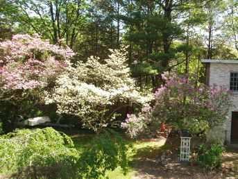 lilactrees.JPG