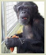 pic_chimps_hannah.jpg