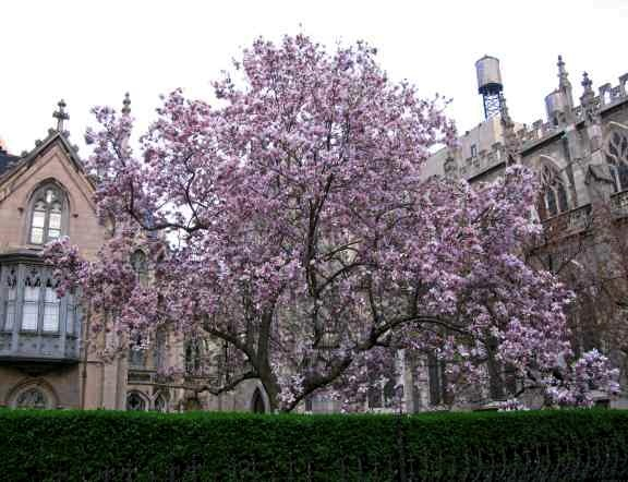 magnolia4