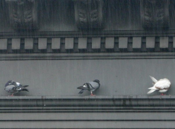 Pigeons Huddled Against the Coming Hurricane