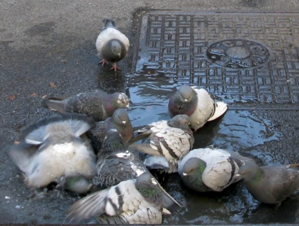 Pigeons in New York City