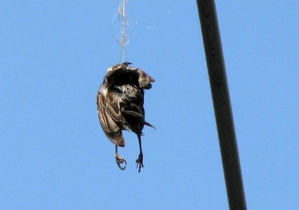 Bird Caught in String Dies
