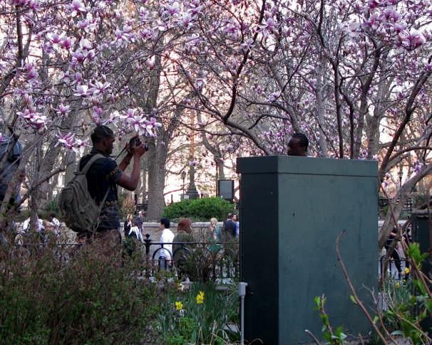 Magnolia Tree, Union Square, New York City