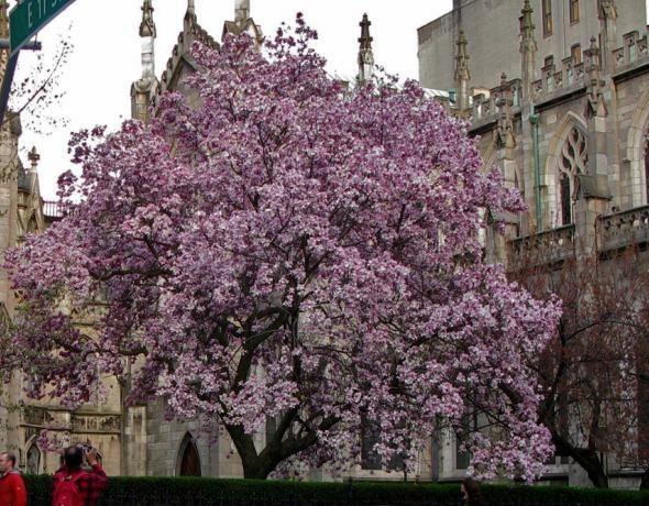 Magnolia Tree, Grace Church, New York City