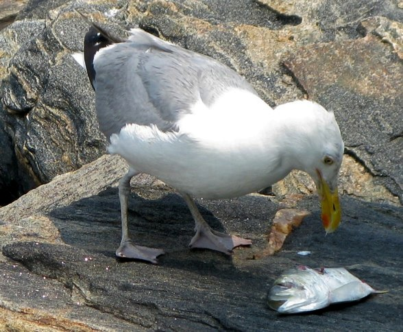 Seagull, Roosevelt Island