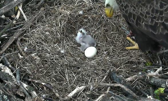Eaglet5